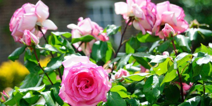 HAGEDRØM: Hvem vil vel ikke ha en hage full av duftende vakre roser i sommer?