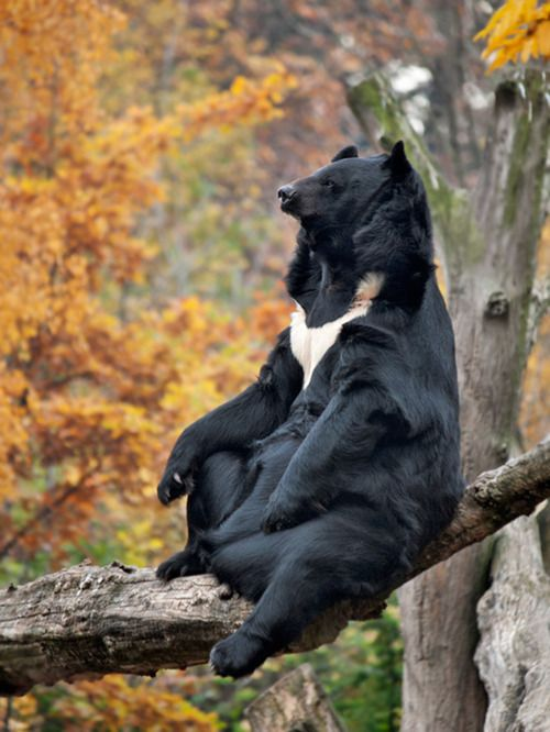 Asian black bear (Ursus thibetanus), also known as the moon bear or white-chested bear, is a medium-sized species of bear, largely adapted for arboreal life.