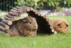 cavia  guinea pig