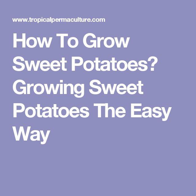 how to start growing sweet potatoes