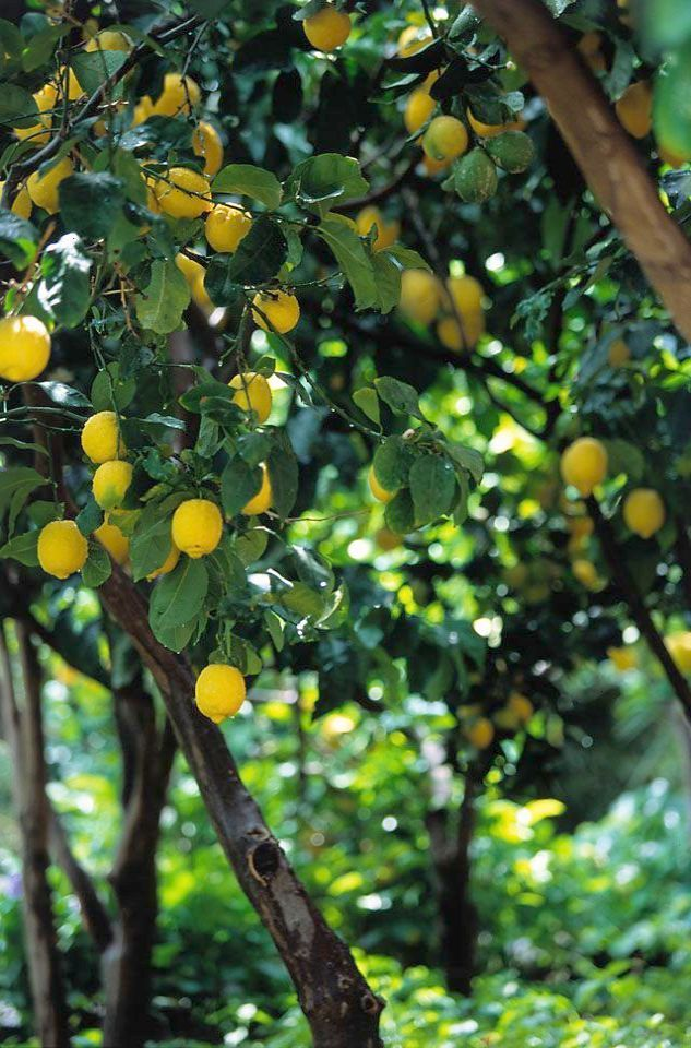 And We Thought Our Lemon Tree Was Flourishing Look At This One