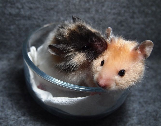 Images of Biggest Hamster Breed - #rock-cafe