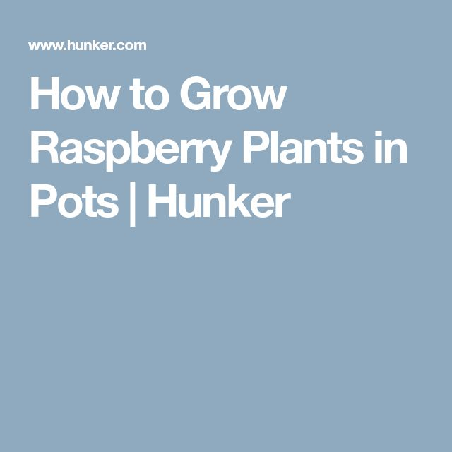 How to Grow Raspberry Plants in Pots | Hunker