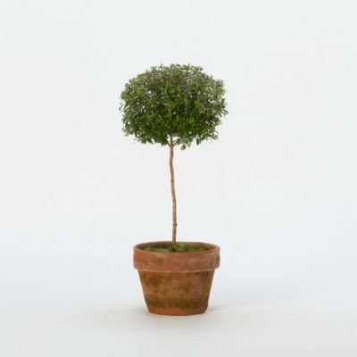 Myrtle Topiary, Medium in House+Home HOME DÉCOR Furniture Storage+Accents at Terrain