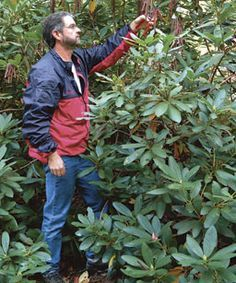 3 Ways to Prune Rhododendrons: Here's how to maintain, shape, or rejuvenate rhododendrons. Learn how to do it right, here http://www.finegardening.com/how-to/articles/three-ways-prune-rhododendrons.aspx