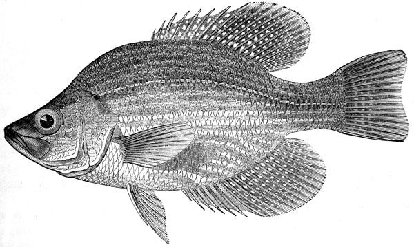 Crappie fish silhouette for Crappie fish facts
