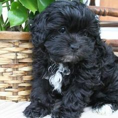 Find Shih-Poo - Shihpoo puppies for sale and dogs for adoption from reputable Shih-Poo - Shihpoo dog breeders. Find the perfect Shih-Poo - Shihpoo puppy at NextDayPets.com.