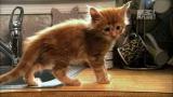 Maine Coon kitten video