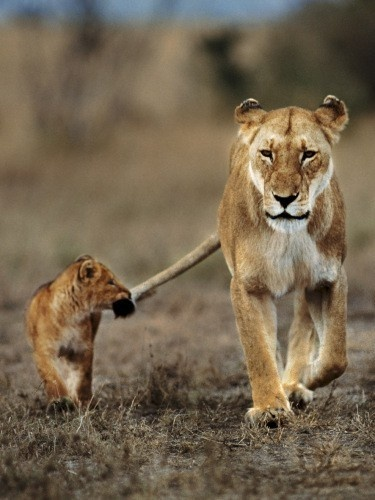 awwWild Animal, Big Cat, Walks, Mothers, Baby Animal, Kids, Baby Lion, Lion Cubs, Holding Hands