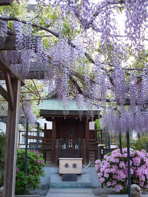 colorful4japan:  Wisteria trellis of shrine Fukushima-Ku Osaka 2013