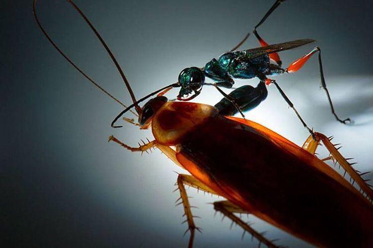 En la naturaleza hay animales que parecen salidos de una película de terror.  La avispa esmeralda (Ampulex compressa) es el terror de las cucarachas.  Como la cucaracha es mucho más grande que ella y no puede arrastrarla usa su veneno neurotóxico para convertirla en un zombi; después le corta los extremos de las antenas y manejándolas como las riendas de un caballo la conduce hasta su madriguera.  Más tarde pone los huevos en el tórax de la cucaracha y cierra su guarida con piedras hasta que…