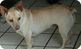 Alta Loma, CA - Corgi/Chihuahua Mix. Meet Sarah, a dog for adoption. http://www.adoptapet.com/pet/17106614-alta-loma-california-corgi-mix