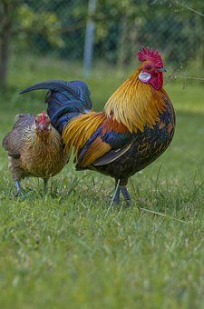Hahn, Gockel, Las Aves De Corral