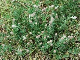 23 Best Common Weeds Images On Pinterest Killing Weeds