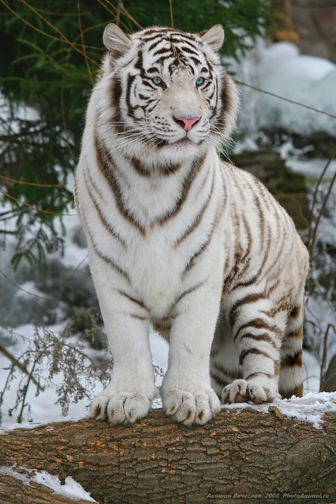gorgeous - white bengal tiger in snow