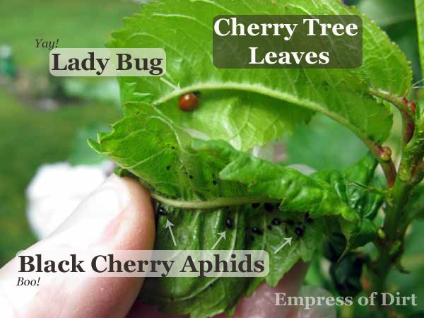 how to get rid of black cherry aphids
