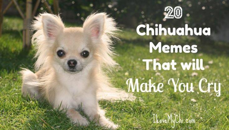 20 Chihuahua Memes That will Make You Cry | Chihuahua, Dog ...