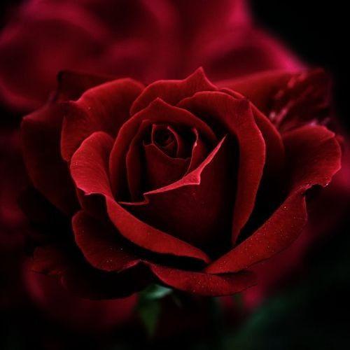 Beautiful Rose    Live a luscious life with LUSCIOUS: www.myLusciousLife.com