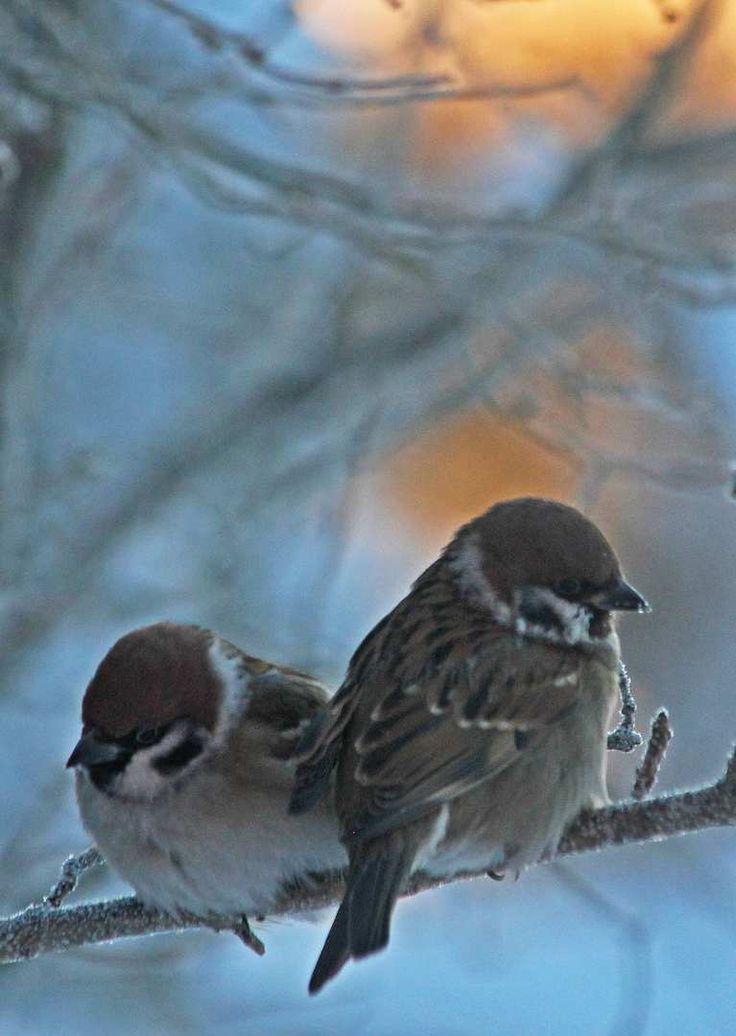 Varpunen jouluaamuna on nykyisin yhä useammin pikkuvarpunen. Pakkasaamun lumisella oksalla kyyhöttävä pikkuvarpuspari tuo lohtua vanhan ajan varpusia kaipaavalle luonnonystävälle.