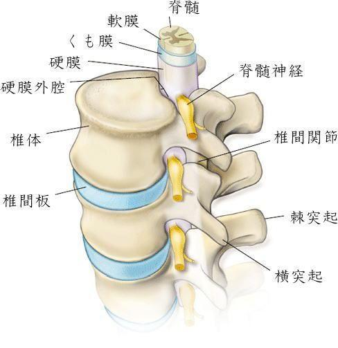 脊柱管狭窄症 (Spinal canal stenosis)
