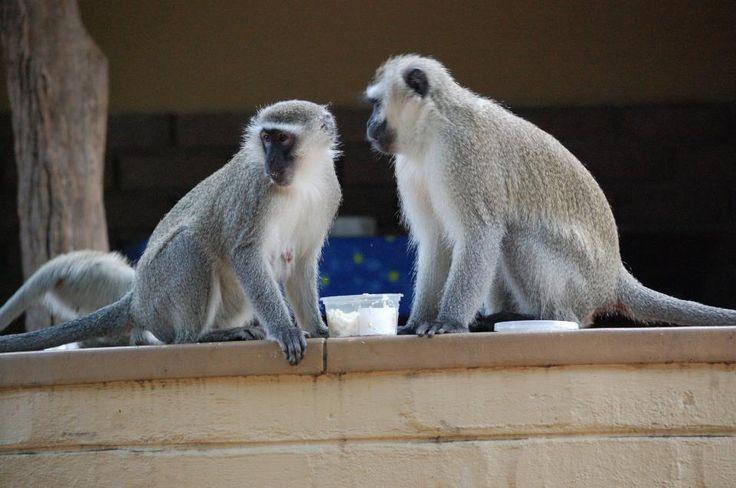 Two vervet monkeys. #EpicEnabled