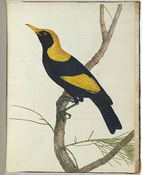 King honeysucker. 12 December 1803 etching, printed in black ink, from one copper plate; hand-coloured; letterpress text