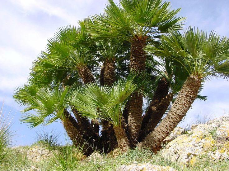 """Palma nana(o di San Pietro) / Chamaerops humilis (dal greco """"Chama""""- terra e """"Rop""""-cespuglio) Tipica della macchia mediterranea, in ambiente naturale cresce soprattutto in terreni rocciosi o sabbiosi. Cespuglio sempreverde che può raggiungere i 2 metri. Infiorescenza da aprile a giugno,di un giallo tenue.Pianta ornamentale sebbene le sue gemme vengano consumate come verdure.Le fibre che ricoprono il tronco, """"crini di cavallo"""",vengono usate per fabbricazione delle scope o come imbottitura."""