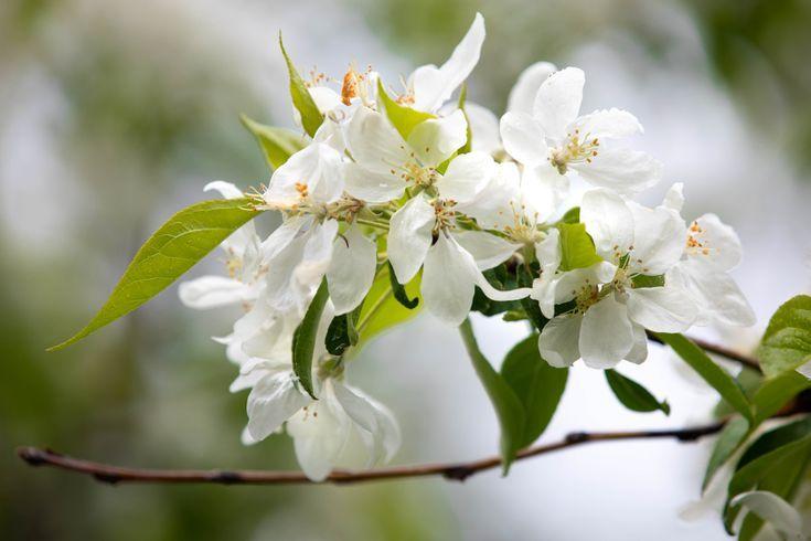 Cherry Blossoms In Traverse City Michigan Flower Festivals Flower Festival Traverse City Michigan Michigan