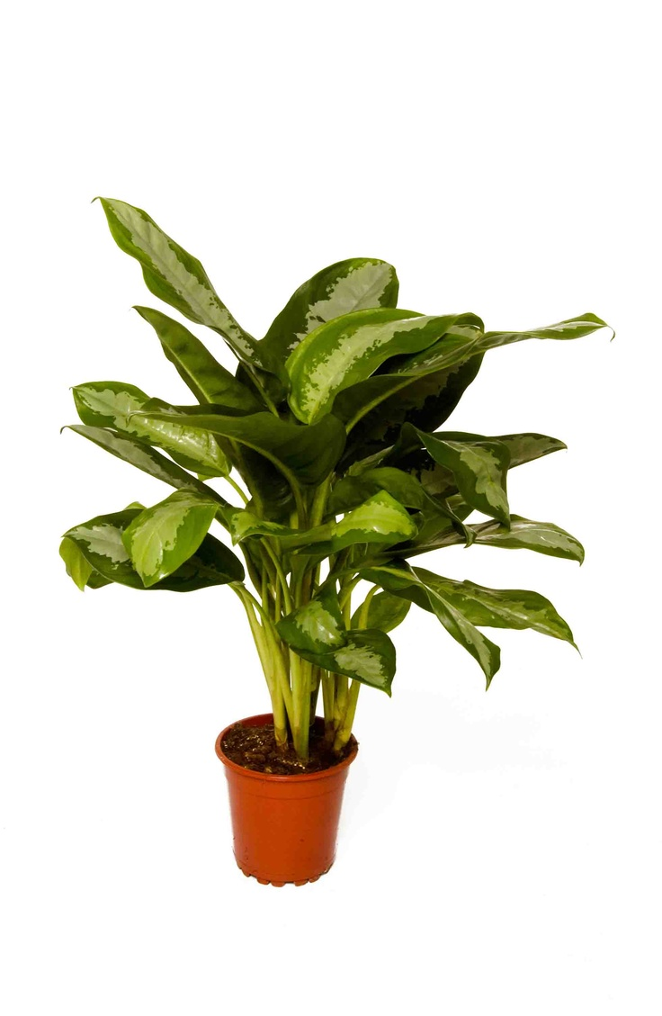 Aglaonema This Is The 39 King Of Siam 39 Agaonemas Are