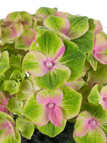 50 best hortensien images on pinterest flower arrangements boyfriends and bridal bouquets. Black Bedroom Furniture Sets. Home Design Ideas