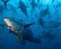 "overview     petition  Dwindling populations of Atlantic bluefin tuna need help. In 2011 the feds identified bluefin tuna as a ""species of concern."" They fell short of protecting the giant fish under the Endangered Species Act but promised to revisit the decision in 2013 -- or as soon as information was available on the effects of the Deepwater Horizon disaster, the largest oil spill in U.S. history... Help protect bluefin today! http://www.thepetitionsite.com/takeaction/255/256/992/"
