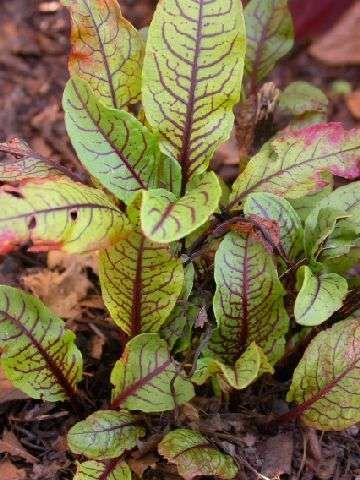 Bloedzuring (Rumex sanguineus) is een winterharde vaste plant. Ze wordt zo'n 35 centimeter hoog en bloeit met decoratieve aren. De jonge blaadjes zijn mals, zacht en fris, tijdens de bloei wordt de smaak minder. Pluk dus vooral in het voorjaar en vroege zomer. Lekker en mooi in een slaatje en als eetbare garnering... De smaak is als die van sla, maar dan met een klein citroenachtig zuurtje. De blaadjes bevatten namelijk veel vitamine C. Zuring bevat ook veel oxaalzuur (zoals Rabarber).