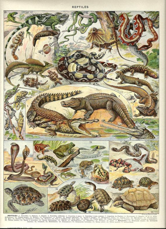 "REPTILES - Vintage ANIMAL Poster - French Dictionary Page Color Illustration - 1930 9"" x 12"". $14.00, via Etsy."