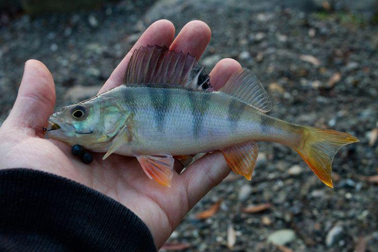Normalerweise hören die meisten Uferangler am Bodensee spätestens Ende November, Anfang Dezember auf zu fischen, da sich die Barsche und die meisten anderen Fische dann angeblich in tieferes Wasser zurückziehen. Ich denke nicht so. Auch am Bodensee ist der eine...Mehr Lesen