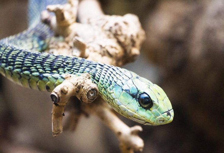 8. Boomslang-- The boomslang can open its jaws as wide as 170 degrees when biting. Its venom is highly potent and contains a hemotoxin that disrupts a human's blood coagulation. That said, the venom is slow-acting, which helps buy time to obtain and anti-venom.