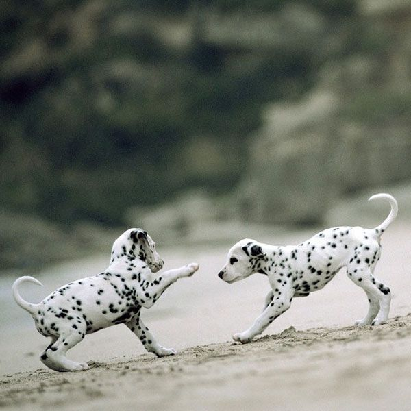 Life Is Hard; Here Are Some Pictures of Dalmatian Puppies to Help You Through - Dogster
