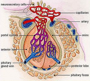 The pituitary has two parts. The anterior lobe is the source of prolactin, GH, thyroid-stimulating hormone (TSH, controlling the thyroid), gonadotropic hormones (LH and FSH, controlling testes or ovaries) and adrenocorticotropic hormone (ACTH, controlling the adrenal glands). The posterior lobe contains nerve fibers coming from the brain (hypothalamus) storing oxytocin (necessary for uterine contractions during delivery) and anti-diuretic hormone.