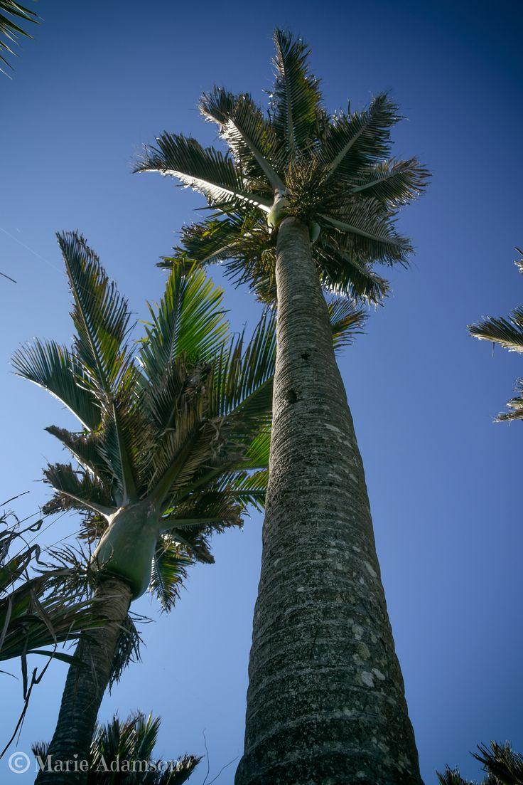 Nikau palm trees at Punakaiki, West Coast NZ