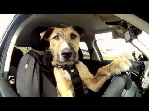 These dogs are being taught to drive a car!