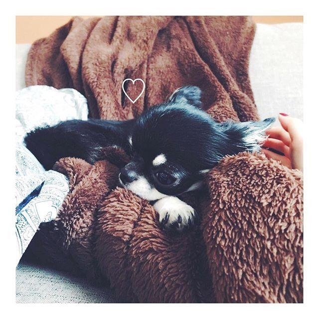 . 可愛こちゃん。お留守番よろしくね😮💕 ごはんの間に しゃしゃみジャーキー隠してきた🍖🍖🍖 さぁ探すがよい😏💘 . . #最近のあだ名 #可愛すぎてついに名前が可愛こになった #チワワ #今日のリリー🐶 #chihuahua #dog #dogs  #lovemydog #love #ブラタンチワワ  #ふわもこ部 #仙台 #愛犬  #치와와 #ネイルサロン #看板犬