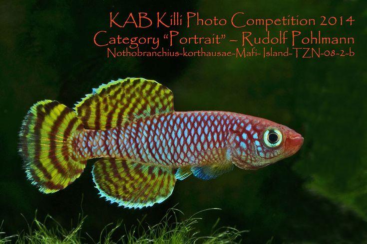 NOTHOBRANCHIUS korthausae Мафия 30+ яиц (Карпозубообразные)   Зоотовары, Рыбы и аквариумы, Живые рыбы   eBay!