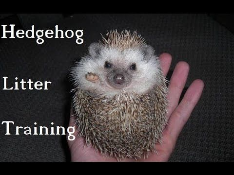 Hedgehogs - Litter Training - YouTube