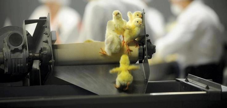 """Für jede Art der Eierproduktion, unabhängig davon ob es sich um sogenannte """"Freilandhaltung"""" oder """"Käfighaltung"""" handelt, werden männliche Küken vergast oder bei lebendigem Leib geschreddert."""