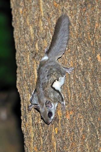 Southern Flying Squirrel he comes every night and eats out of MoM's birdfeeder - I do nothing but stare (ain't no body got time for a flying squirrel to be chasing after you at night)