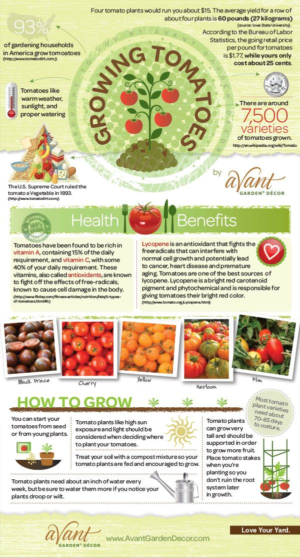 Growing Tomatoes Infographic