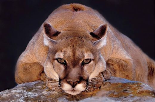 This mountain lion's favorite spot is a large rock formation where he rests in the late afternoon.