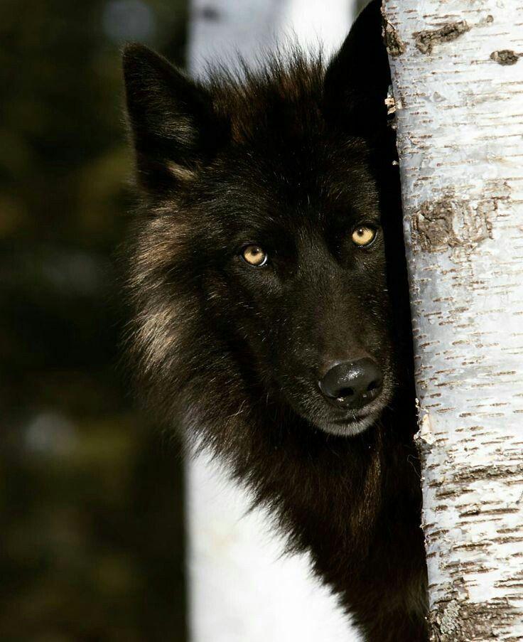 дтп водитель фотографии черных волков пришли вам пожелать