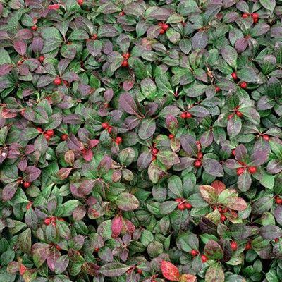 Wintergreen   Gammon's Garden Center & Landscape Nursery