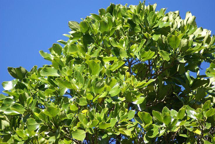 Griselinia lucida – Puka – (Akapuka, Shining Broadleaf) - H 5-6