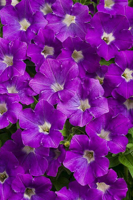 Supertunia 174 Morning Glory Charm Petunia Hybrid